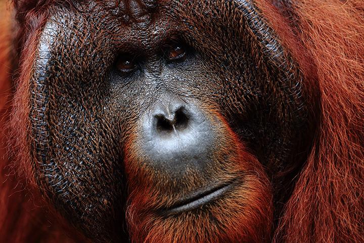 Voyage à pied : Bornéo: à la rencontre des derniers orangs-outans
