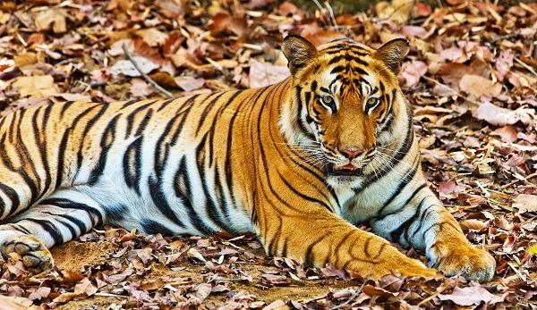 Voyage à pied : Au pays du tigre