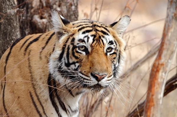 Voyage à pied : Inde : Tigre et palais